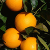 Share Farming Opportunity including Accommodation - Citrus - Wangaratta - Generous Revenue Share offered