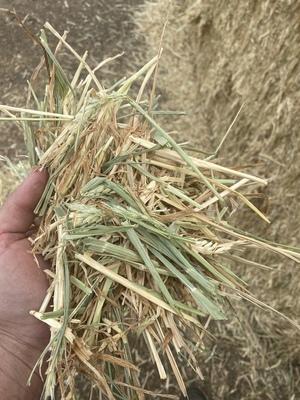 Barley Hay Small Squares