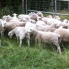 Dorper  female Lambs for sale (15)
