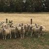 130 Mixed Sex Second Cross Lambs
