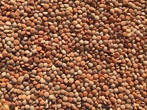 Feed Lentils, ( mixed varieties)