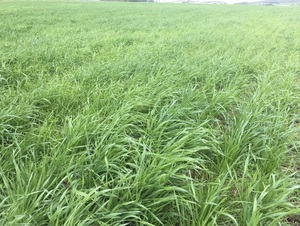 2/mt of Southern Green Rye Corn Wanted