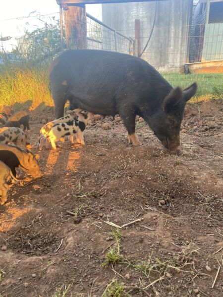 Mini Pig Breeding Trio