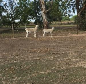 Wiltipoll Rams