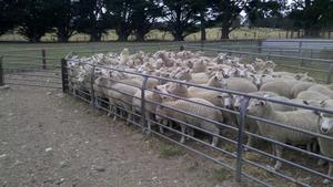 Wether lambs