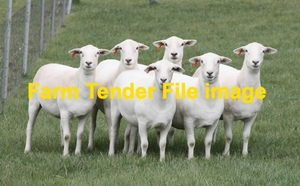 WANTED Ultra White Ewes 100-130 head