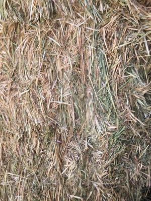 Vetch Hay   2500 Bales Shedded