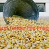 30/MT of Feed Corn For Sale