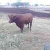 2 Red Angus Stud Bulls