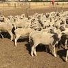 140 first WS x M wether lambs