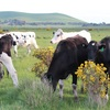 Large Fresian Heifers 2yrs old- leftover export heifers- 6 months terms.