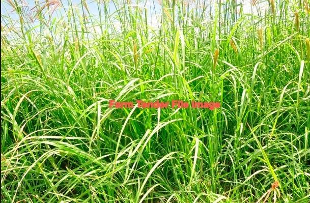 Rhodes Grass Seed