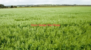 WANTED Vetch & Cereal Hay Standing or on Share Basis