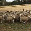 160 mixed sex second cross lambs