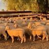 First Cross Ewe Lambs