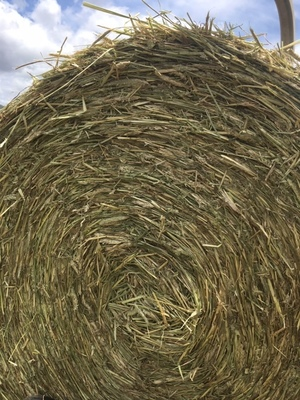 Silage Triticale Haylage