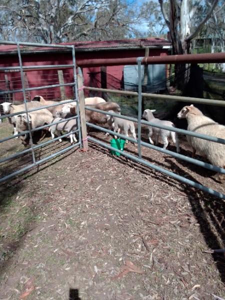 6 dorper lambs 1 dorper ewe and twin lambs