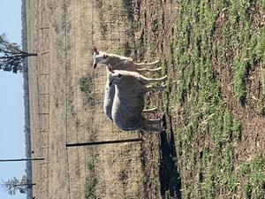50 Composite Ewe Lambs