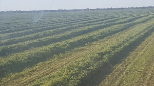 **Price Reduced** Clover / Lentil Hay For Sale in 8x4x3's - Shedded - See Feed Test