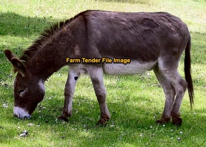 WANTED Adult Donkey