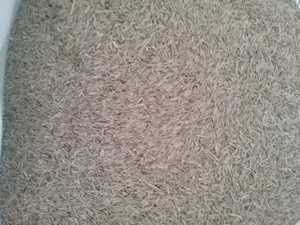 Tetraploid Annual Ryegrass